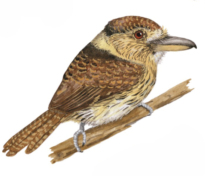 New species for Birds of Bolivia
